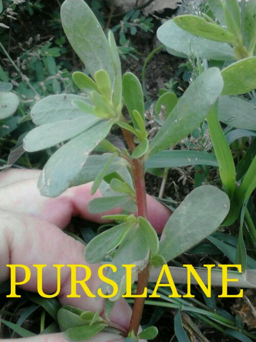Growing Purslane How To Grow Edible Purslane In The Garden: Purslane: Has Many Names And Grows All Over The World