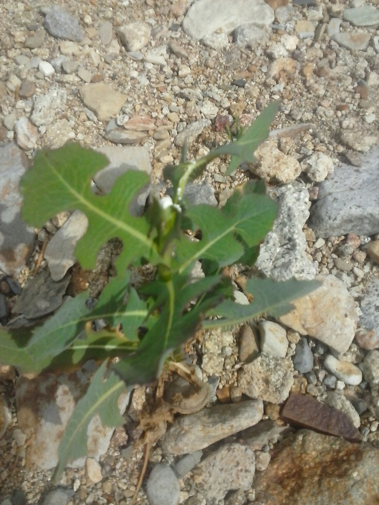 how to identify wild prickly lettuce   wildlettucegal's Blog