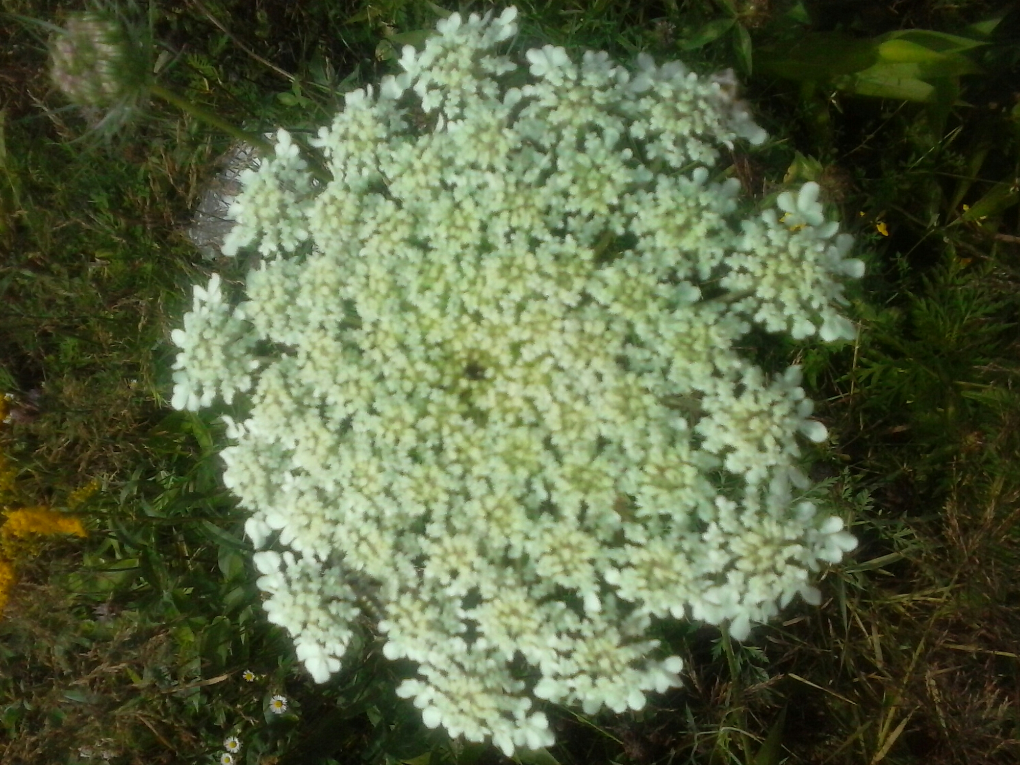 Queen Anne S Lace Is Edible Wildlettucegal S Blog